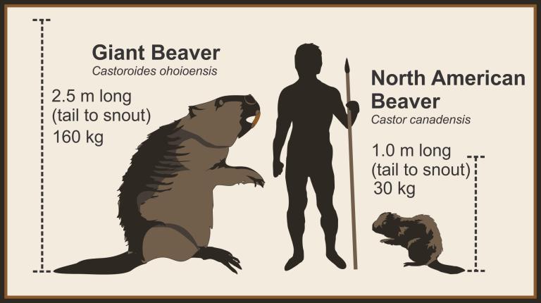 Figure 1: Beaver scale comparison (by Todd Kristensen).