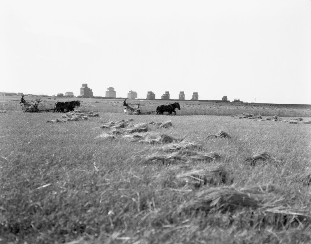 A long row of eight elevators had been built at Vulcan by 1924 and provided a backdrop for this harvest scene at Vulcan. (Glenbow Archives, ND-8-218).