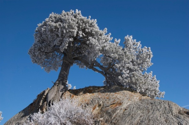 A limber pine, covered in hoar frost, grows incongruously from thrust-faulted sandstone near the mouth of Rock Creek, in close proximity to the last known resting place of Count Castiglione's missing rock  (Photo by David McIntyre).