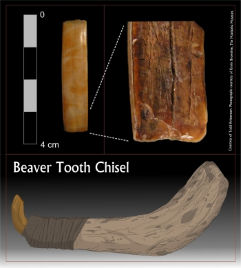 Figure 4. Beaver tooth blog
