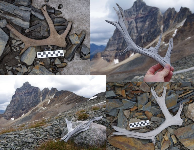 A sample of some of the caribou and elk antlers found at the edge of the ice patches.