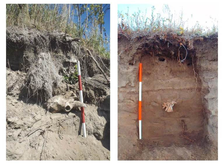 Bison skull found in a cutbank of the Bow River (left) and bison vertebrae found in a cutbank of the Highwood River (right), both exposed by the June 2013 flood.