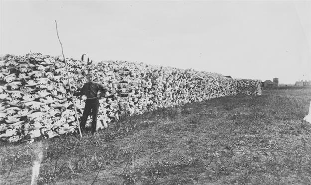 Figure 5. Buffalo bones was littered the prairies but were collected en masse for use as fertilizer in the 1800s (image A17481 reproduce with permission from the Provincial Archives of Alberta). The scene is of stacked buffalo skulls from either Medicine Hat in southern Alberta in 1884 or from Saskatoon in Saskatchewan in 1890.