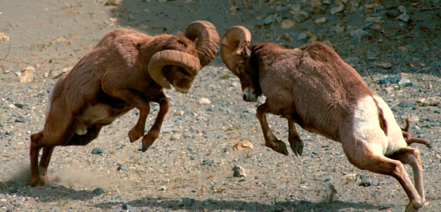 Rams butt heads in Jasper National Park (courtesy of Alberta Culture and Tourism). Horn size influences mate selection: if hunting patterns alter horn size in sheep populations, humans may be influencing larger patterns of mate selection and evolution.