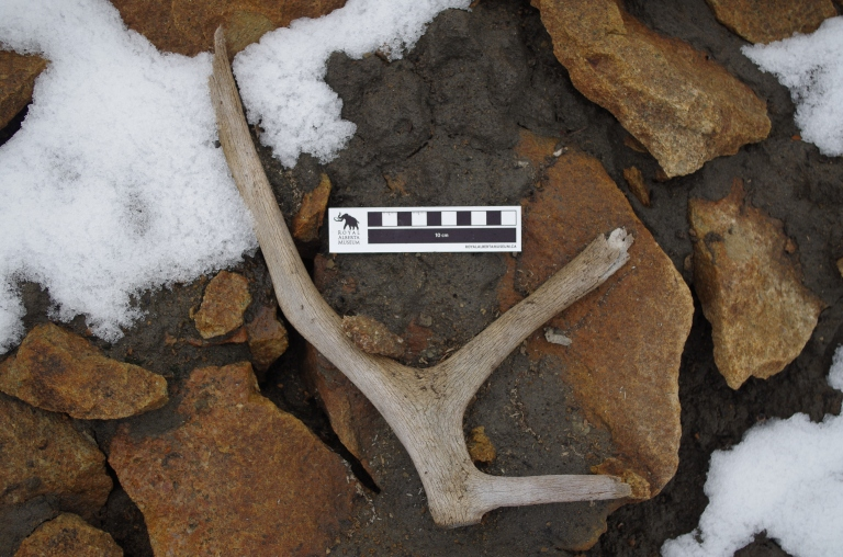Caribou antler observed melting out of an ice patch on Mount Bridgland, Jasper National Park.