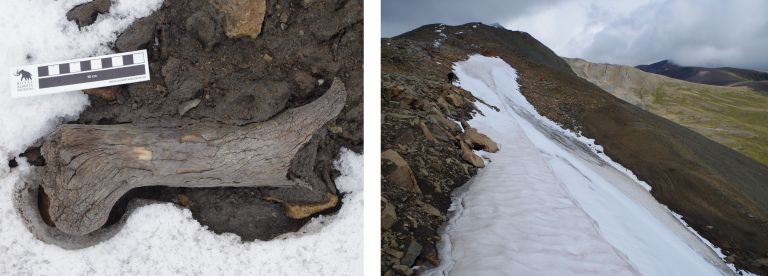 This ancient bison bone was found melting from an ice patch high above Miette Lake in Jasper National Park (by Todd Kristensen).