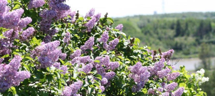 Newton's Lilacs: Edmonton's Hermitage,1876-1900