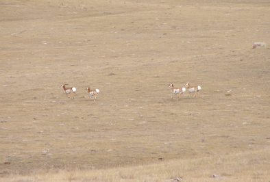 Pronghorn or Antilocapra Americana, also commonly referred to as antelope. Photo courtesy of Royal Alberta Museum.