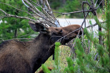 Moose are known as browsers and eat mainly leaves, stems and bark. They eat with a chopping motion that form pits on their teeth. Public domain.