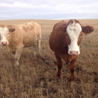 Cattle are grazers and eat mainly grasses and other low-lying plants. They use a grinding motion when chewing, resulting in striations on their teeth. Photo: Brenda Lakevold.
